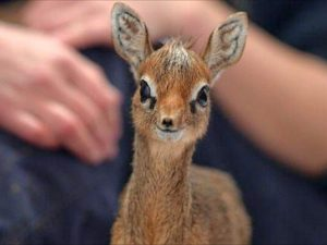 Little antelope was the star of the meme